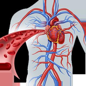 эректильные органы